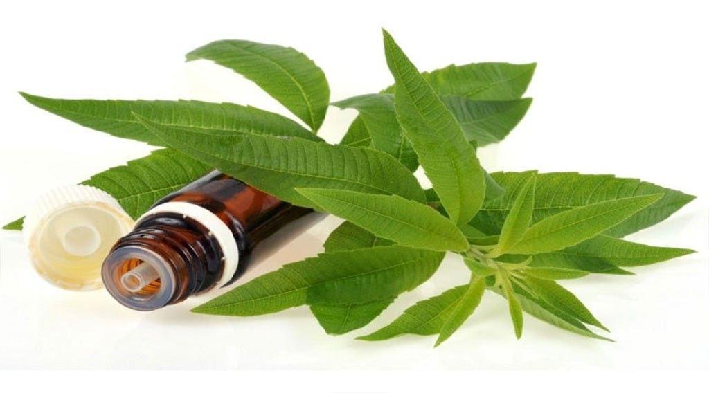 بِه لیمو - Lippia citriodora - گیاهان دارویی