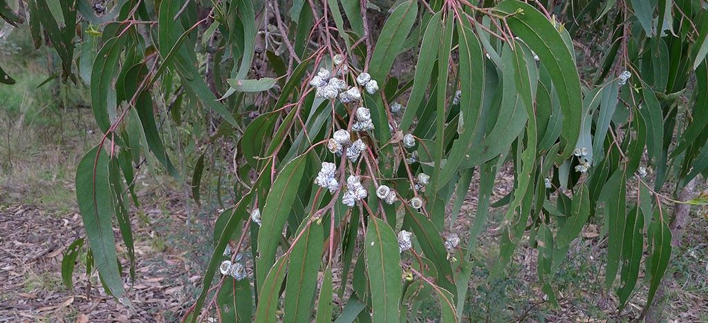 اوکالیپتوس Eucalyptus globulus