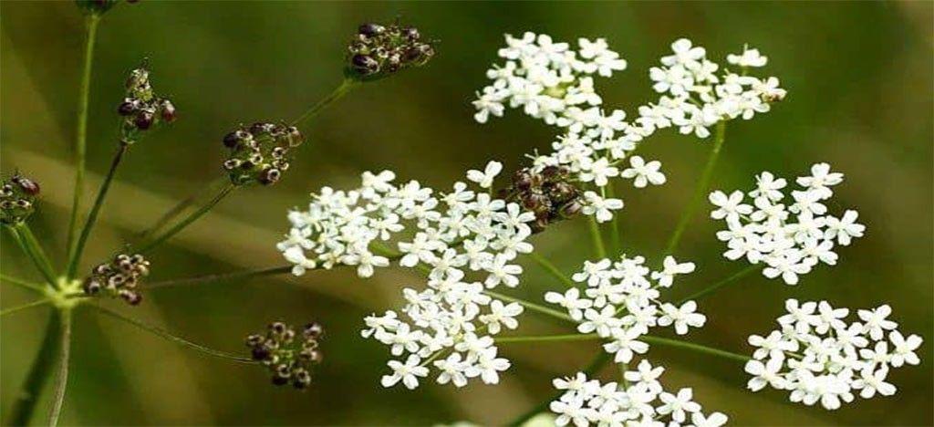 انیسون Pimpinella anisum - گیاهان دارویی